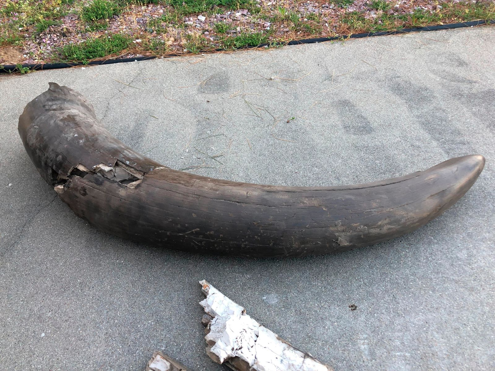 The tusk of a mastodon found on property owned by Joe Schepman and his family is shown on April 15, 2019  in Seymour, Ind. Atlas Excavating recently discovered the remains of a mastodon on property owned by Schepman.  The remains include the majority of a tusk, part of a jawbone with teeth, two upper leg bones, a vertebrae, a joint and part of the skull. The tusk was split into two pieces and together made up about a third of the tusk.  (Jordan Richart/The Tribune via AP)