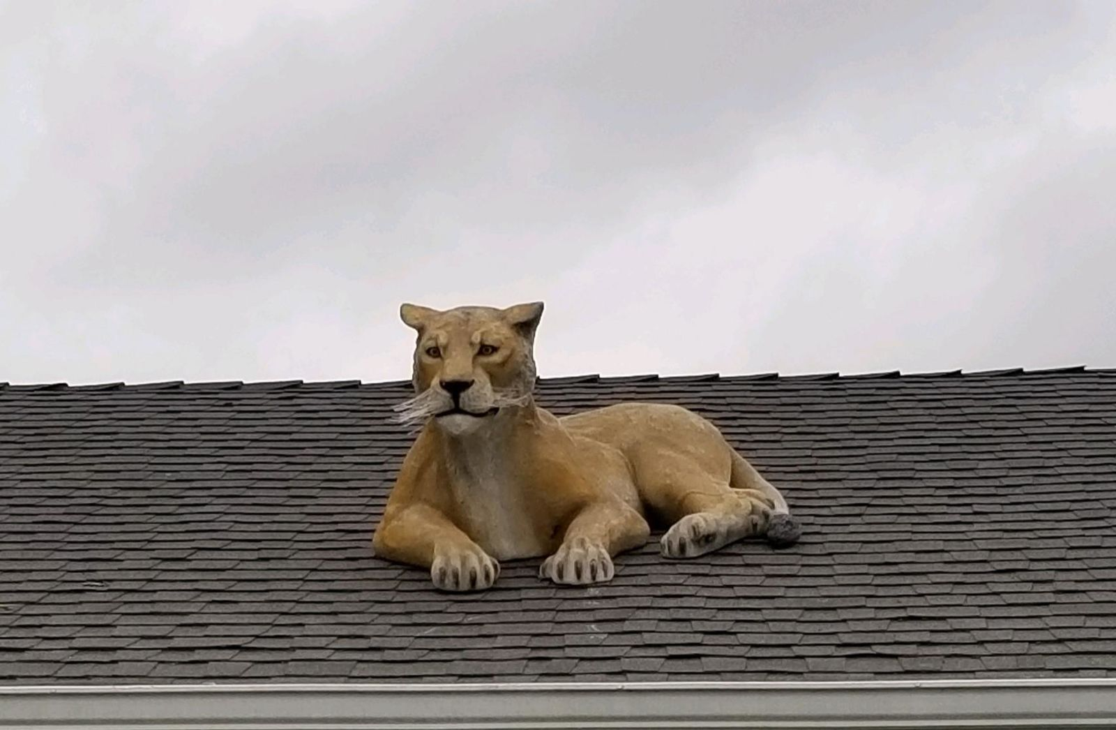 Aumsville resident John Forrest said he bought a lion made of resin from a gardening business and put it up on his roof. (Courtesy: John Forrest)