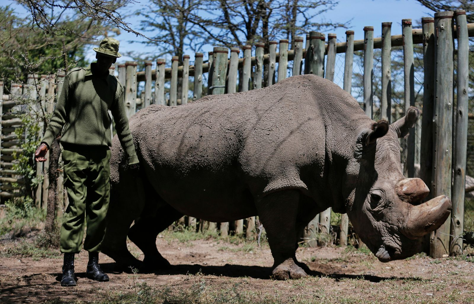 the last male northern white rhino has died  could his
