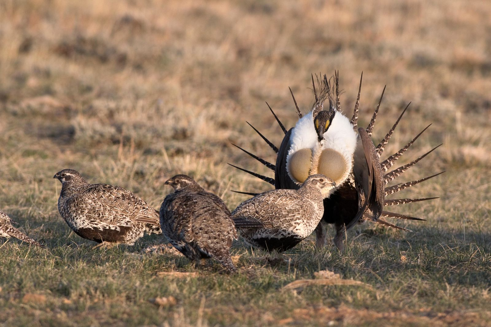 In a flurry of feathers and wings, male greater sage grouse strut and inflate their air sacs around nearby females or hens during the annual mating ritual on a sagebrush covered lek on the plains of Colorado's Arapahoe National Wildlife Refuge. One male in particular appealed to the females, as they huddled around him he eventually mated with many of them.