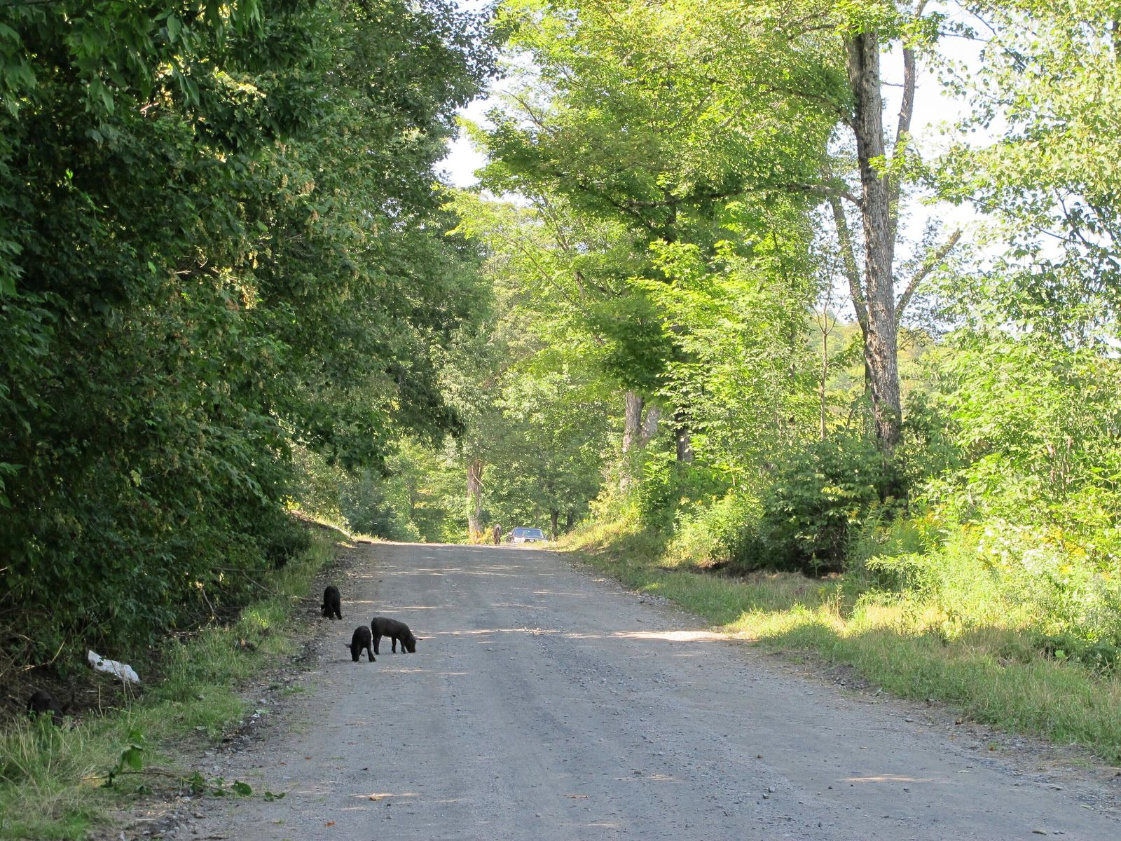 Piglets that escaped from a farm's fencing in Orange, Vt., walk up the road toward the farm on Thursday, Aug. 29, 2019. (AP Photo/Lisa Rathke)