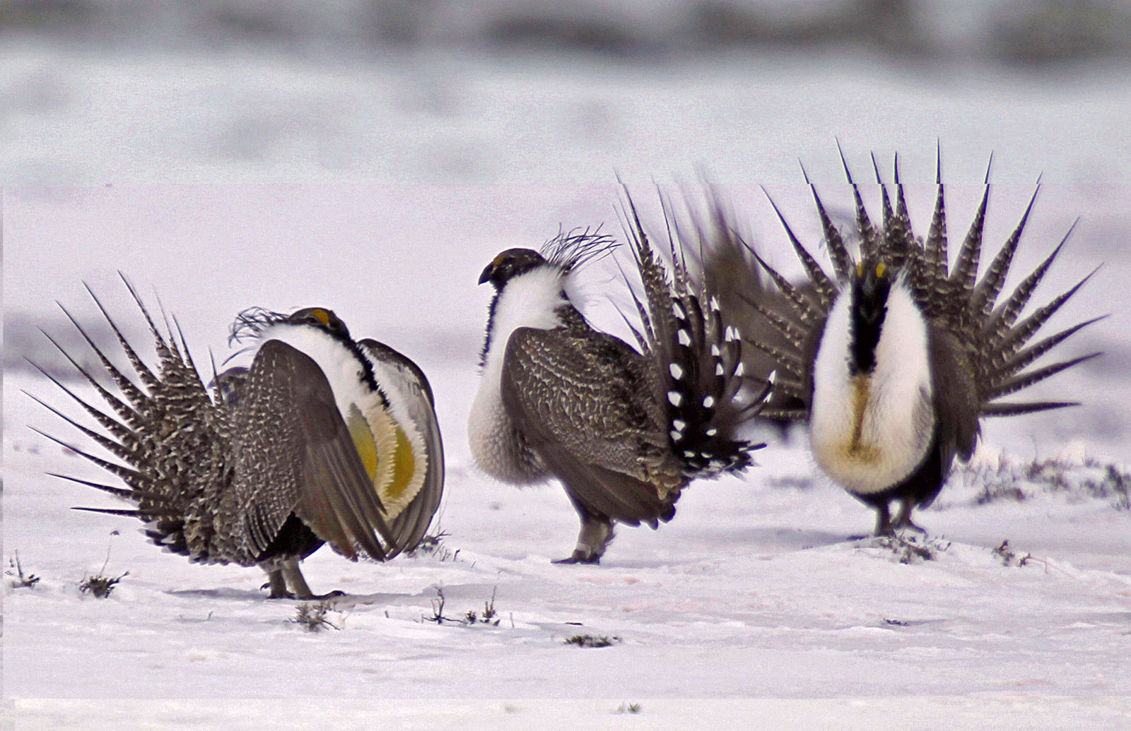 FILE - In this April 20, 2013 file photo, male greater sage grouse perform mating rituals for a female grouse, not pictured, on a lake outside Walden, Colo. The Trump administration is advancing plans to ease restrictions on oil and gas drilling and other activities on huge swaths of land in the American West that were put in place to protect an imperiled bird species. Land management plans released Thursday, Dec. 6, 2018, would open more areas to leasing and allow waivers for drilling pads to encroach into the bird's habitat. That would reverse protections for greater sage grouse enacted in 2015, under President Barack Obama. (AP Photo/David Zalubowski, File)