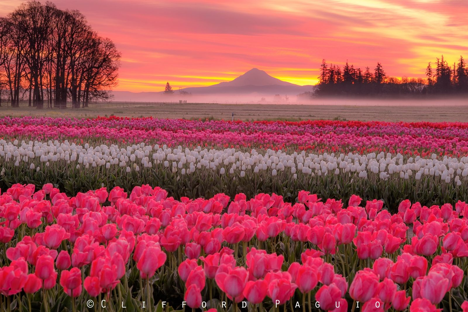 Wooden Shoe Tulip Festival (Photo by Clifford Paguio)