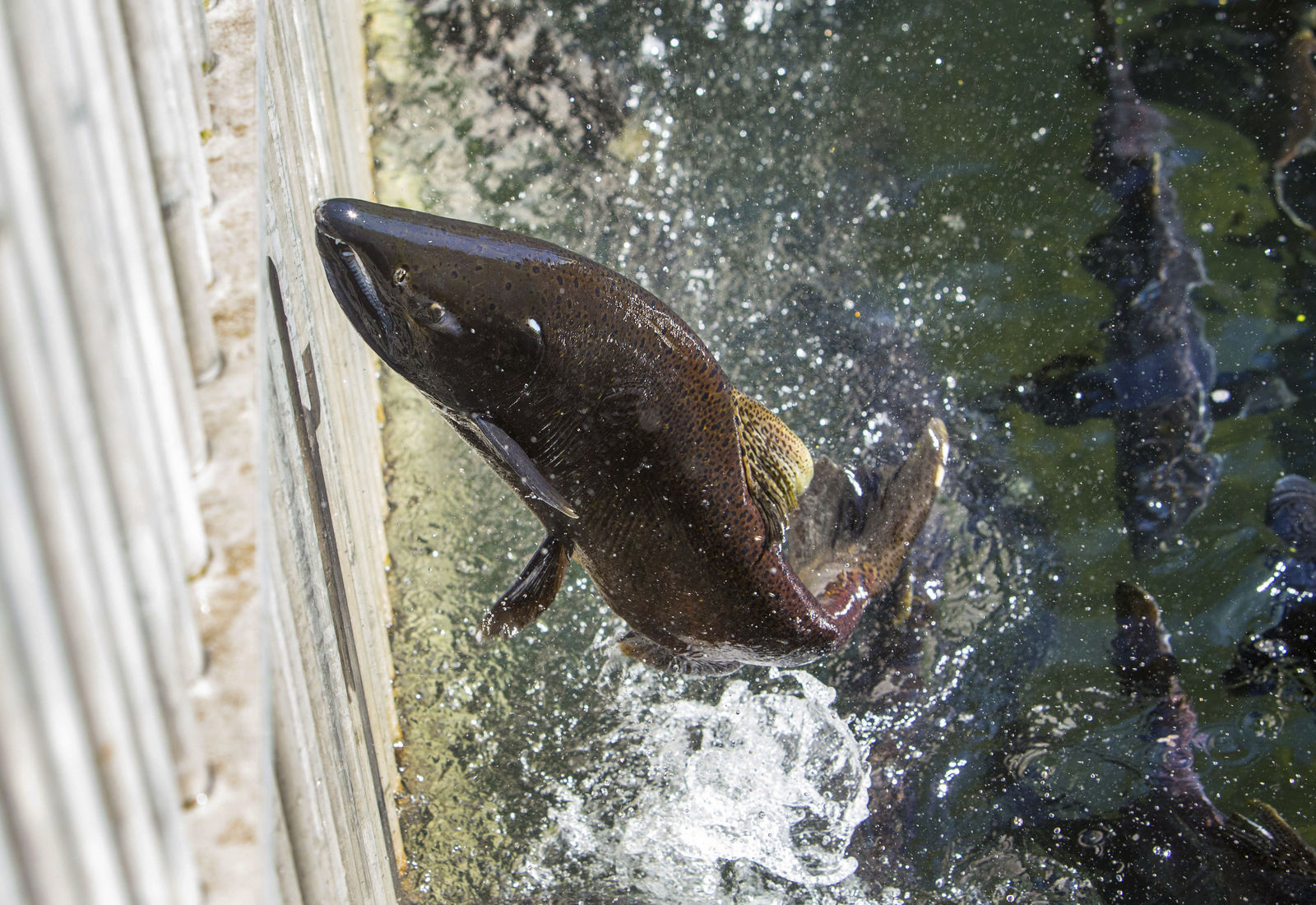 FILE - In this Sept. 23, 2015, file photo, a spring chinook salmon reaches the end of the run at the McKenzie Hatchery, where mature fish are gathering in an annual fall ritual east of Springfield, Ore. (Brian Davies/The Register-Guard via AP, File)