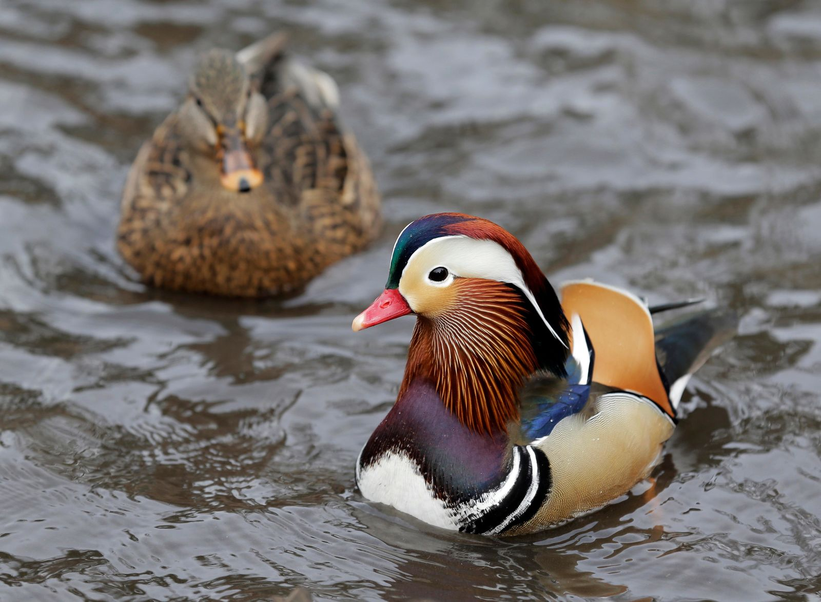A Mandarin duck, right, swims in Central Park in New York, Wednesday, Dec. 5, 2018. In the weeks since it appeared in Central Park, the duck has become a celebrity. (AP Photo/Seth Wenig)