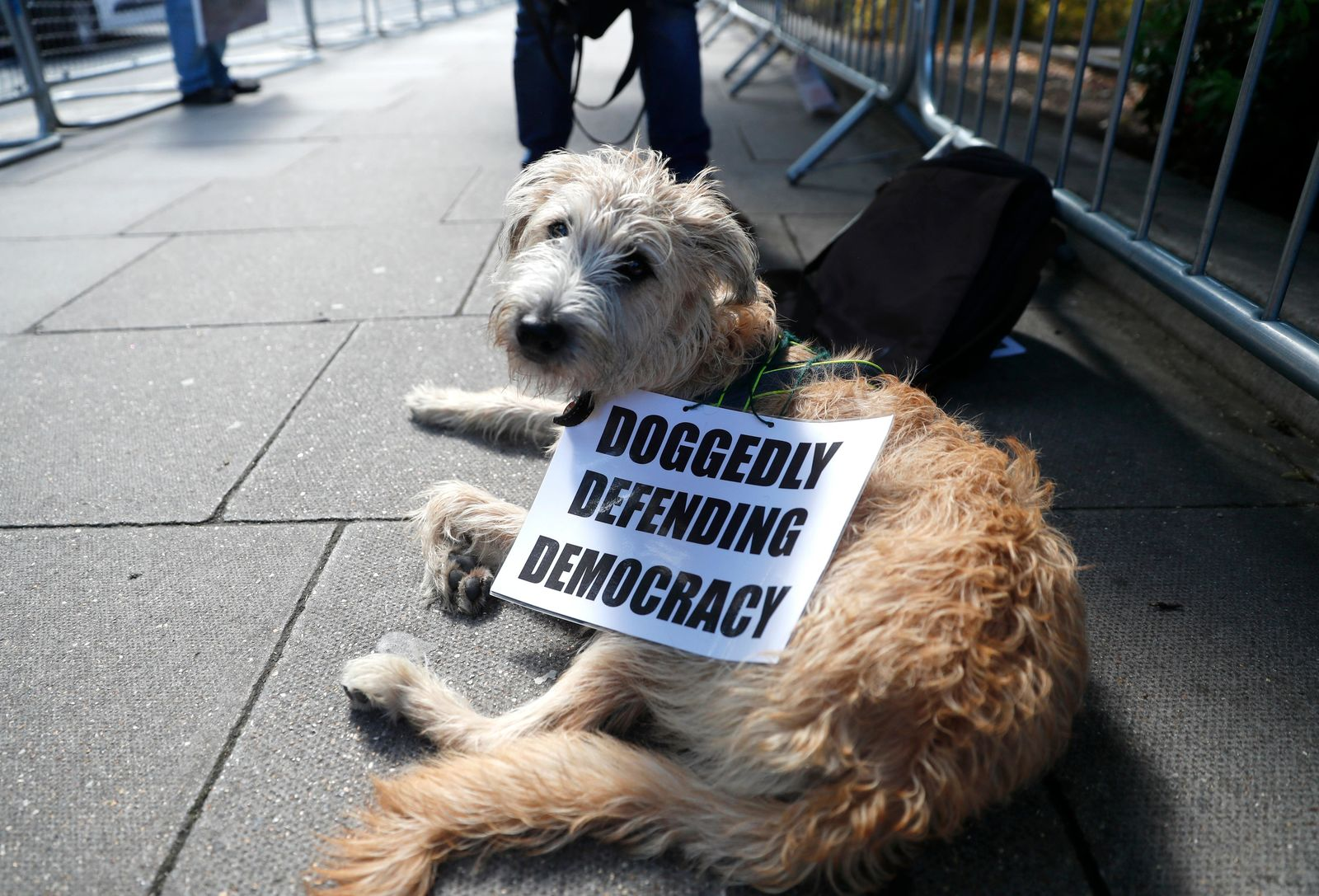 "A dog wears a sign placed on it from remain supporters outside the gates of Parliament in London, Wednesday, Sept. 4, 2019. With Britain's prime minister weakened by a major defeat in Parliament, defiant lawmakers were moving Wednesday to bar Boris Johnson from pursuing a ""no-deal"" departure from the European Union. (AP Photo/Alastair Grant)"