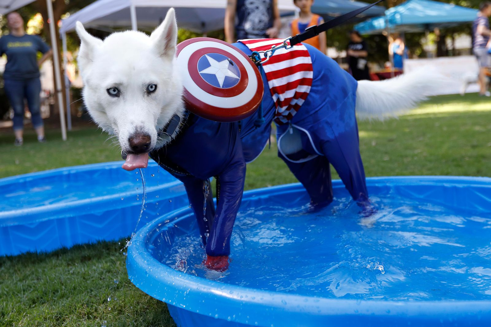A Siberian Husky in a Captain America costume takes a dip in the pool during Doggy Con in Woodruff Park, Saturday, Aug. 17, 2019, in Atlanta. Event organizers said they set up dog cooling stations to help prevent dogs from overheating during the event, which occurred on a 90-degree (32.2 Celsius) day. (AP Photo/Andrea Smith)