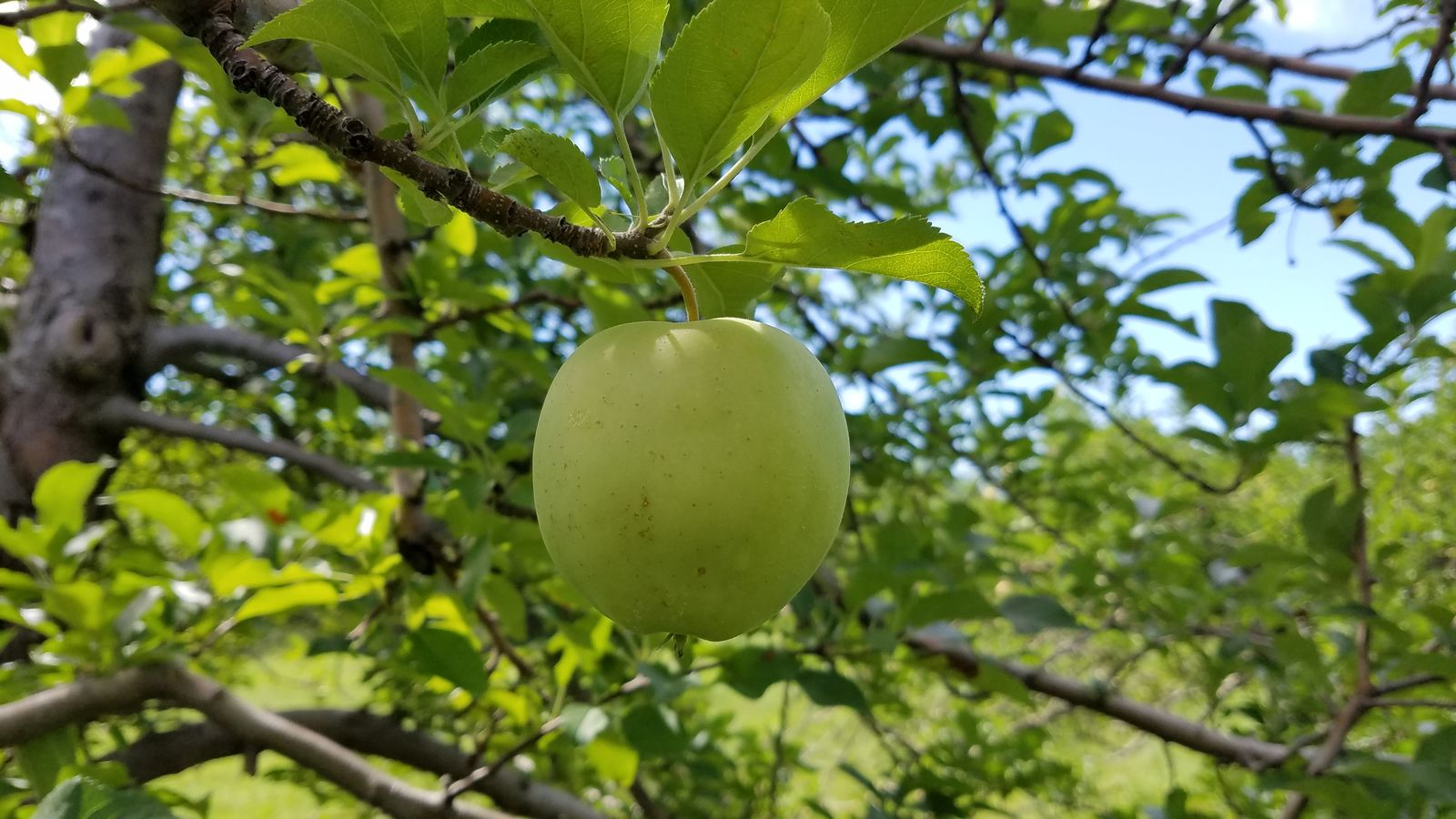 A Golden Delicious growing at Randall Orchards. (WGME)