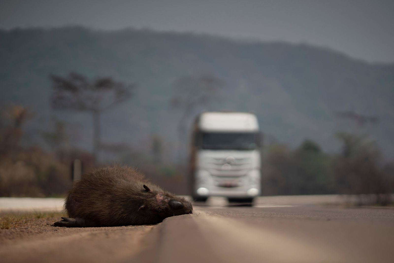 A dead capybara lays on the side of the highway in Altamira, Para state, one of the states affected by the blazes that in the last weeks have been hitting the Amazon region of Brazil, Saturday, Aug. 24, 2019. (AP Photo/Leo Correa)
