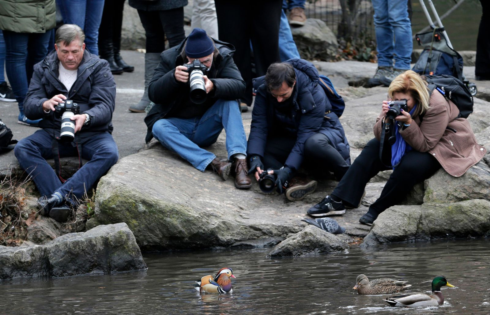 People try to get pictures of a Mandarin duck, center, in Central Park in New York, Wednesday, Dec. 5, 2018. In the weeks since it appeared in Central Park, the duck has become a celebrity. (AP Photo/Seth Wenig)