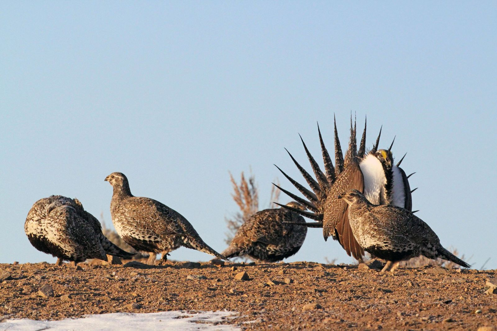The applications for four Utah bird hunts opened today, greater sage grouse, sandhill crane, swan and sharp-tailed grouse. Permit applications are open from July 3-18. Photos courtesy of the Utah Division of Wildlife Resources