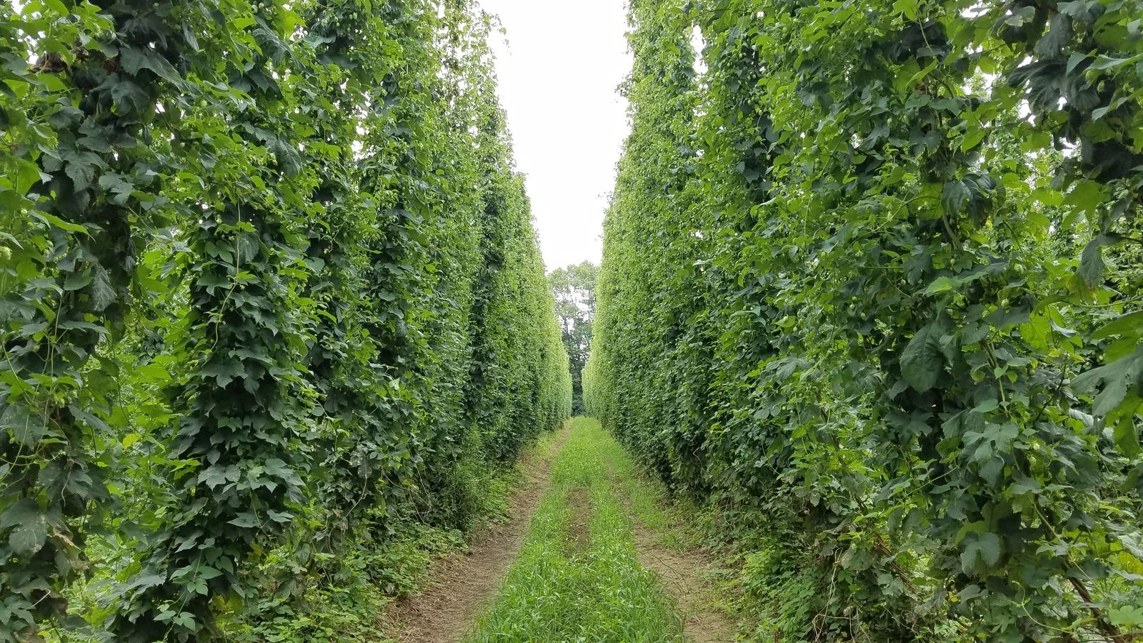 Rows of hop plants at The Hop Yard. (WGME)