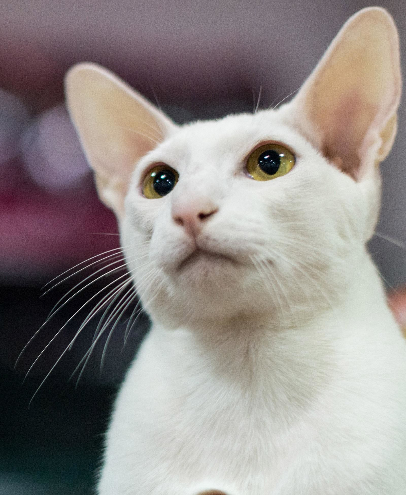 Photos Competitive Cats Of The International Cat Show