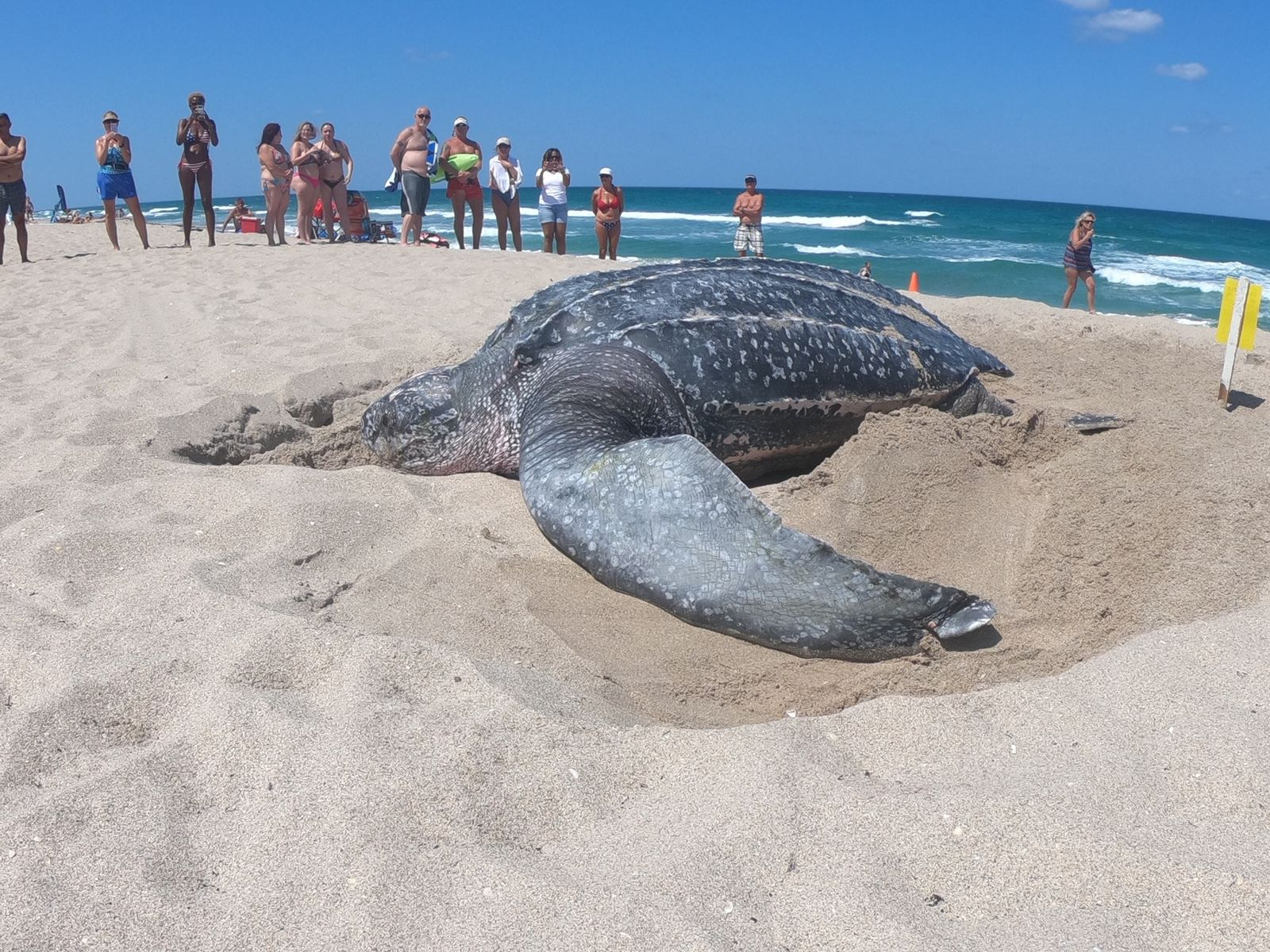 Leatherback turtles are the biggest of all the sea turtle species currently living in the world today, according to the experts at the MarineLife Center. (Loggerhead MarineLife Center)
