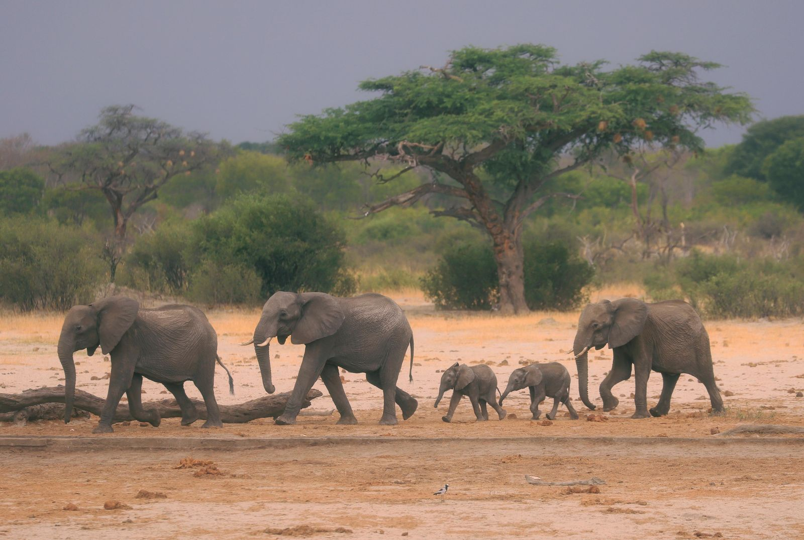 In this photo taken Sunday Nov. 10, 2019, a herd of elephants make their way through the Hwange National Park, Zimbabwe, in search of water. More than 200 elephants have died amid a severe drought, Zimbabwe's parks agency said Tuesday Nov. 12, and a mass relocation of animals is planned to ease congestion. (AP Photo)