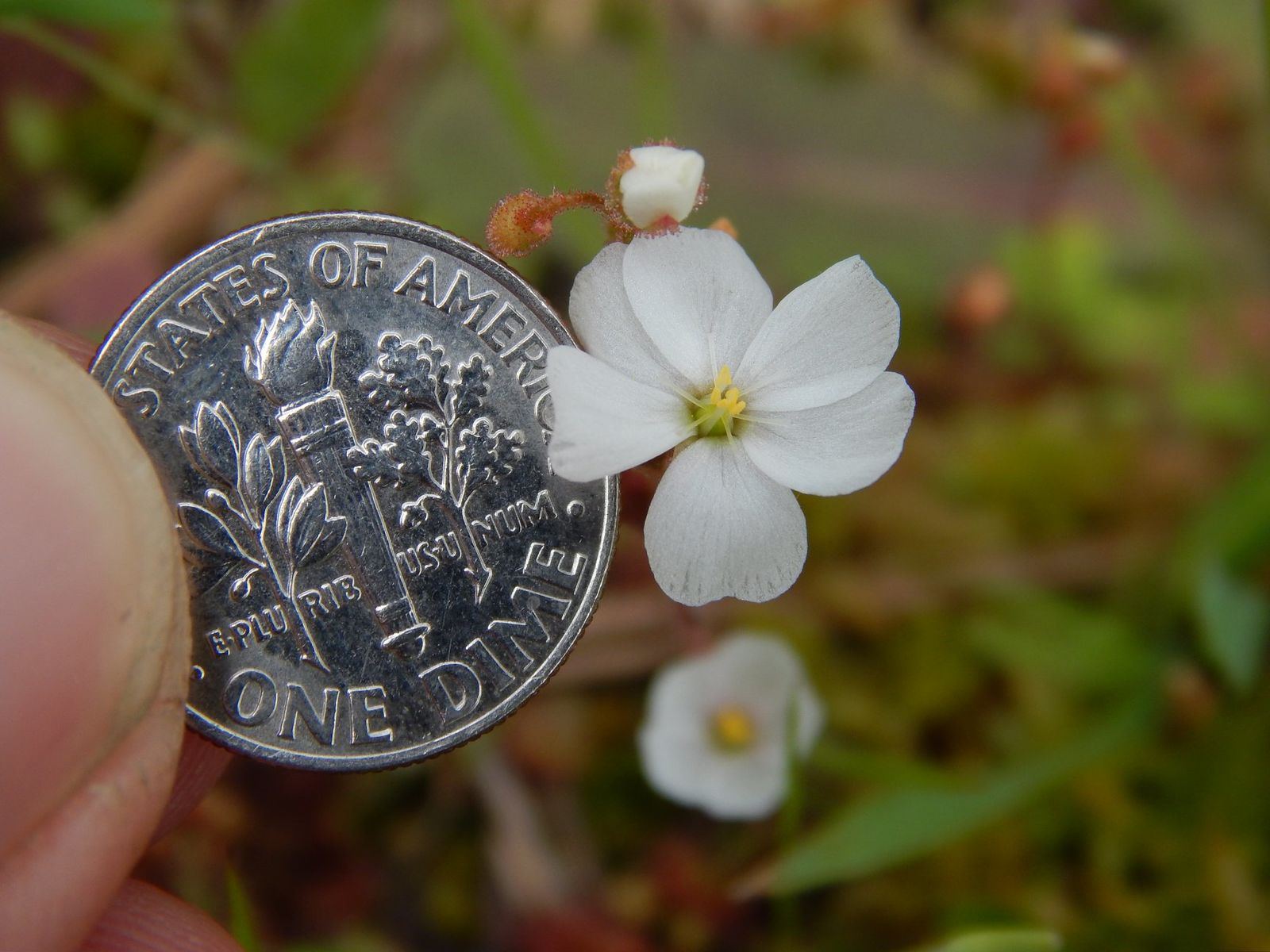 Dwarf sundew in comparison to a dime (Courtesy of Maryland Department of Natural Resources)