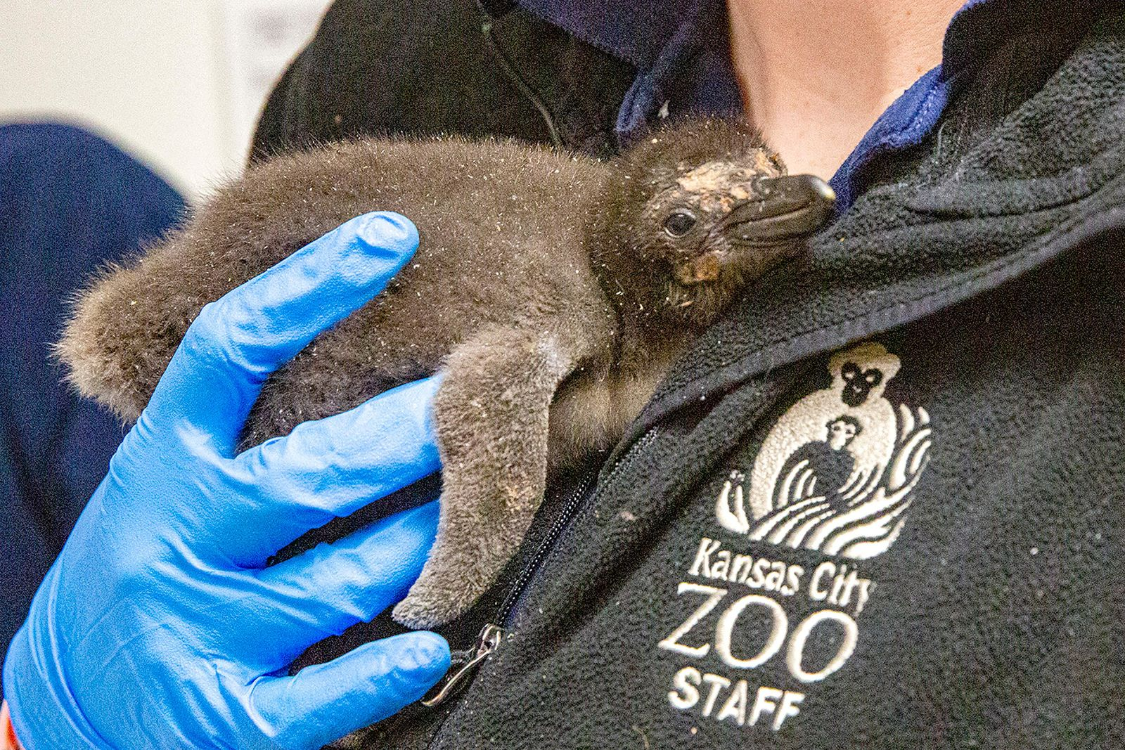 In this undated photo provided by the Kansas City Zoo, a Macaroni penguin chick is cared for just days after its birth at the zoo in Kansas City, Kansas. For the first time in the zoo's 110-year history, the zoo is home to Macaroni penguins, from eggs provided by SeaWorld San Diego, that hatched eight fluffy chicks in incubators. (Kansas City Zoo via AP)