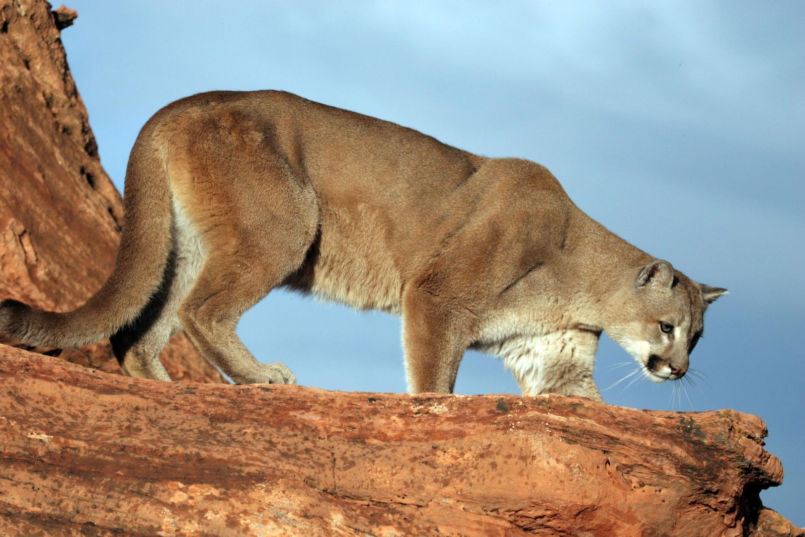 Cougar spotted in the Canyon Cover area in Holladay (Photo: DWR)<p></p>