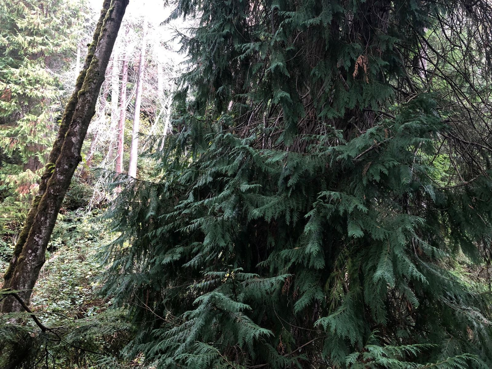 Cedar bows are being illegally cut from forests in Coos County