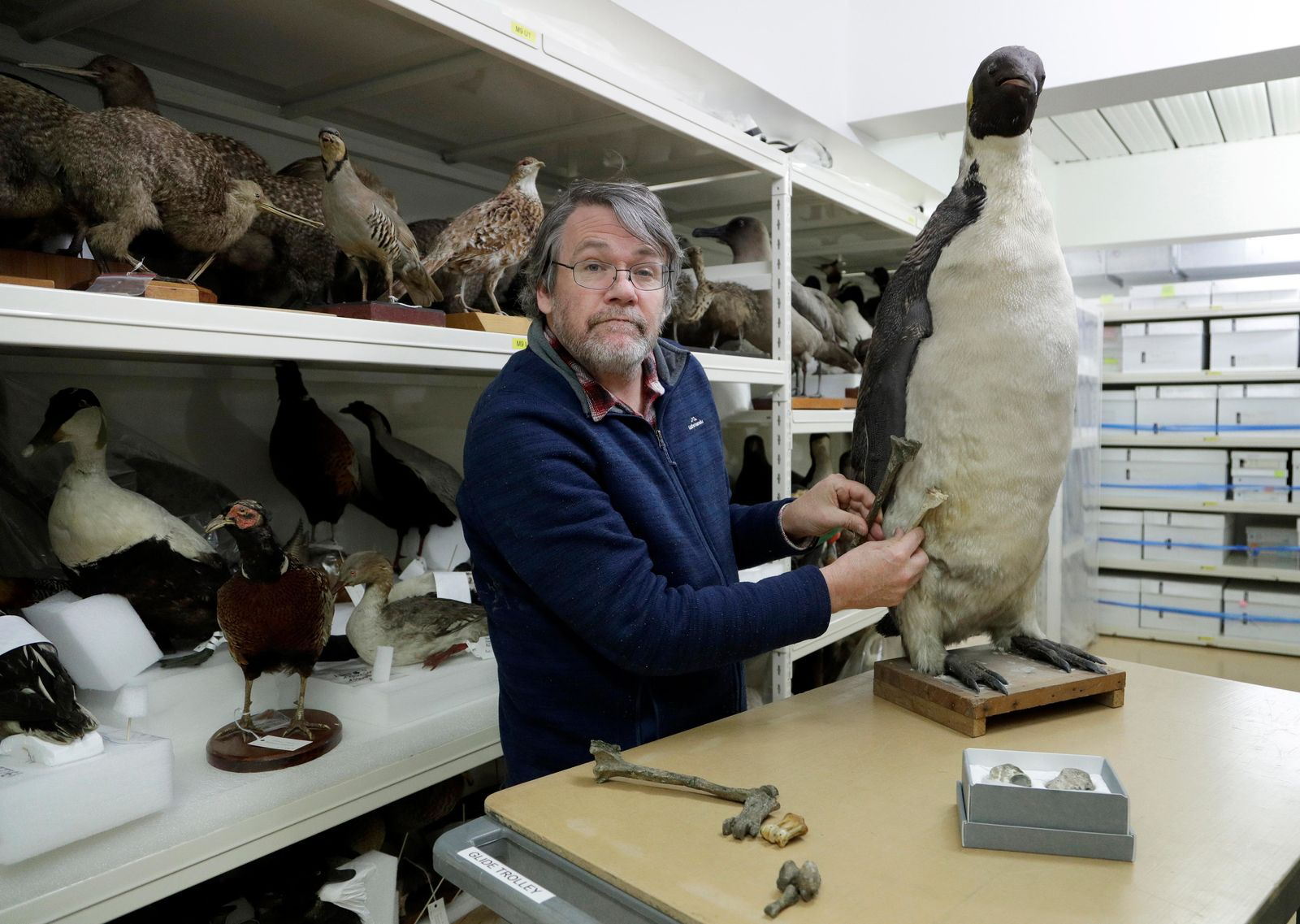 Dr. Paul Scofield, senior curator natural history at Canterbury Museum, holds the fossil, a tibiotarsus, top, next to a similar bone of an Emperor Penguin in Christchurch, New Zealand, Wednesday, Aug. 14, 2019. (AP Photo/Mark Baker)