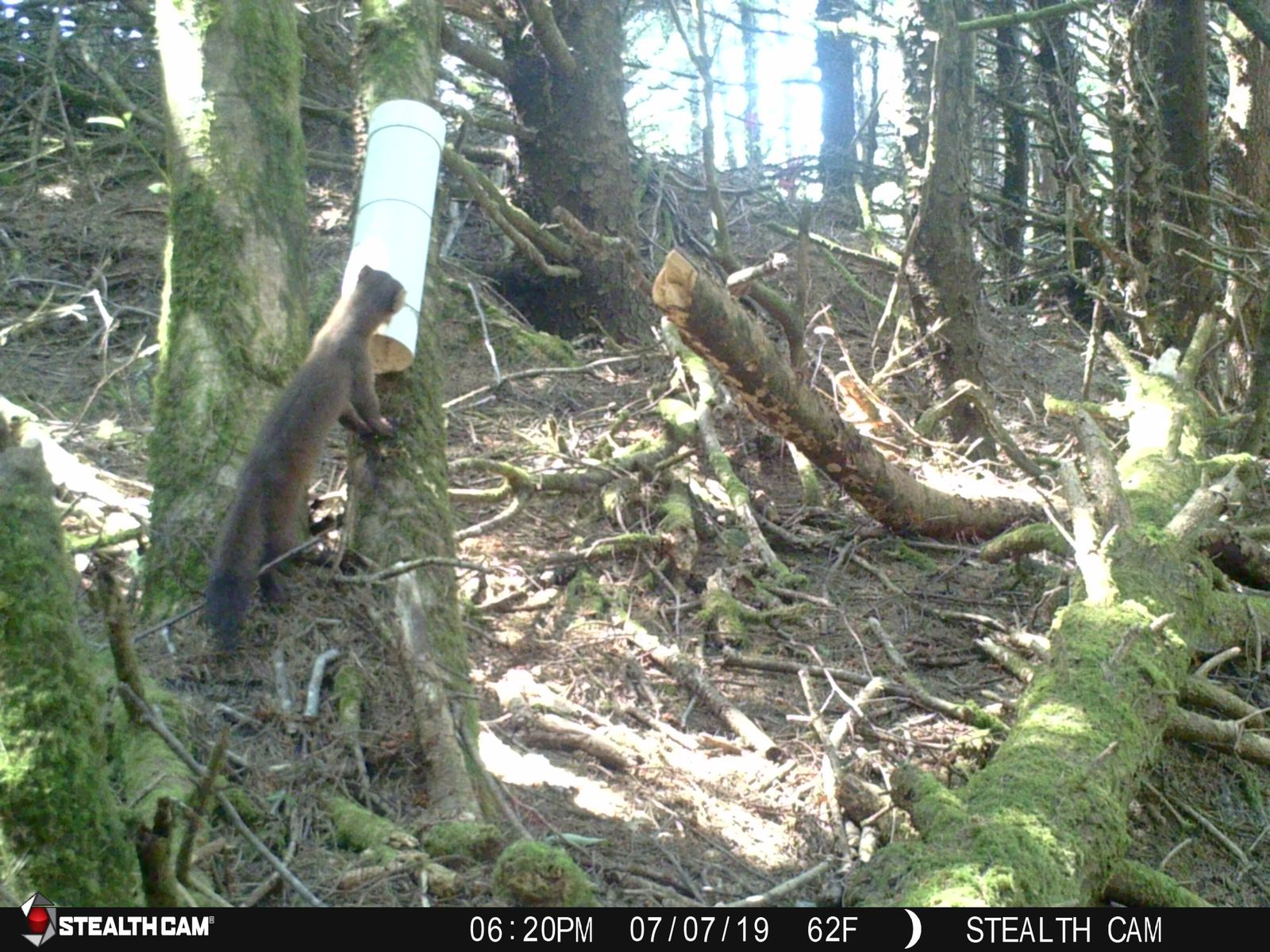 A marten in southern Oregon coast inspects a hair trap put out by the Oregon Department of Fish and Wildlife. Courtesy ODF&W.