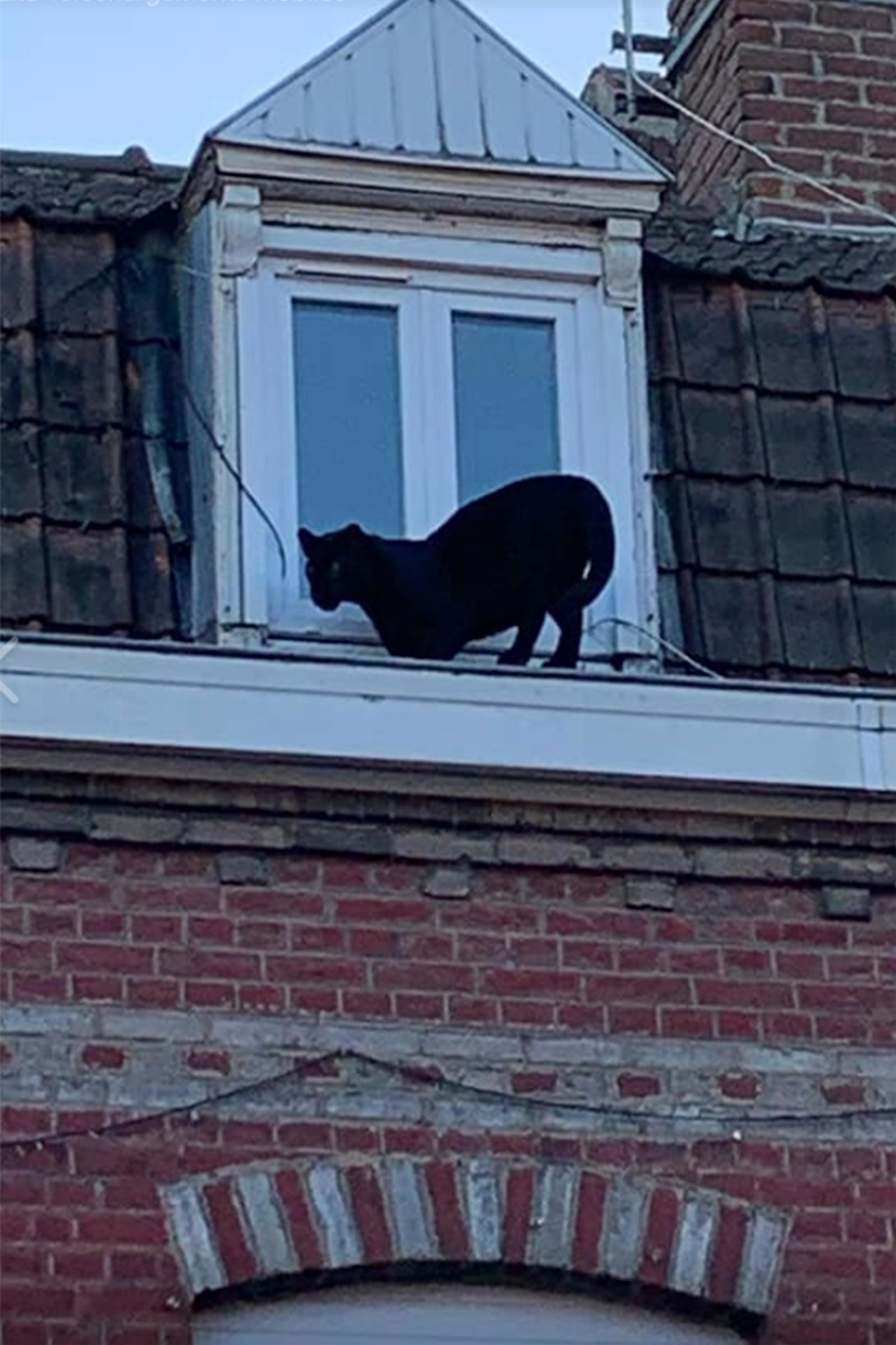 This provided provided by the Fire Brigade of Northern France shows a panther on the gutter of a building in Armentieres, northern France, Wednesday Sept.18, 2019. (Sapeurs-Pompiers du Nord via AP)