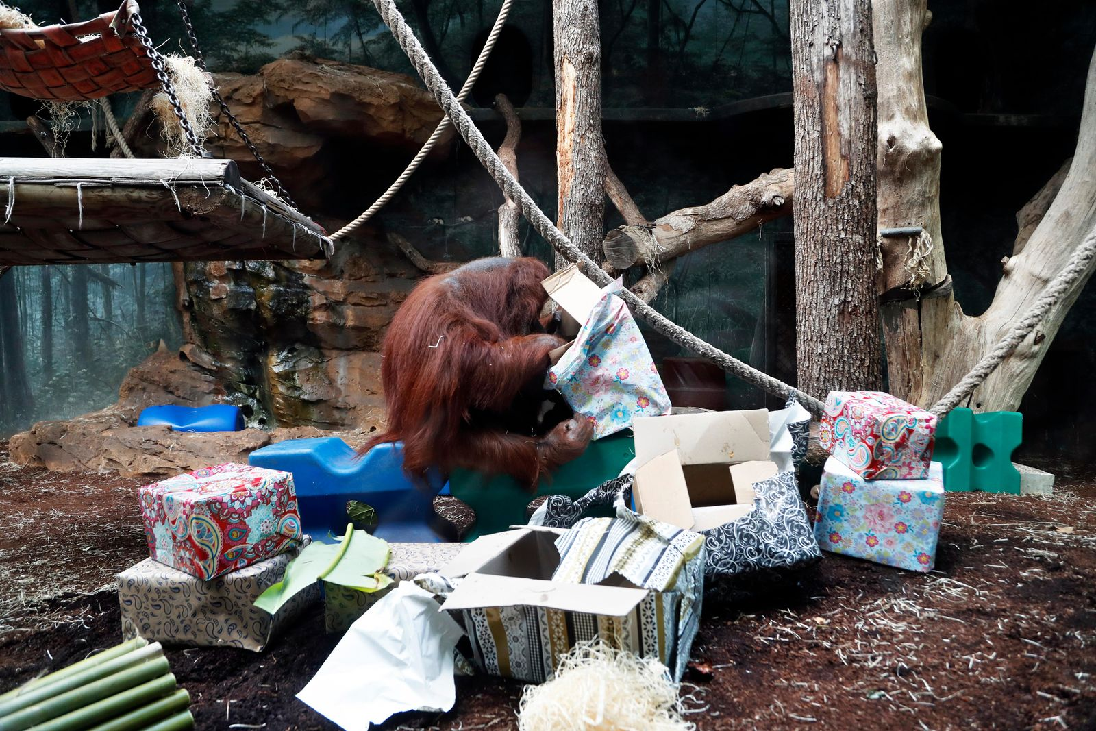 Orangutan Nenette opens presents as she celebrates her 50th birthday, at the Jardin des Plantes zoo, in Paris, Sunday, June 16, 2019. (AP Photo/Thibault Camus)