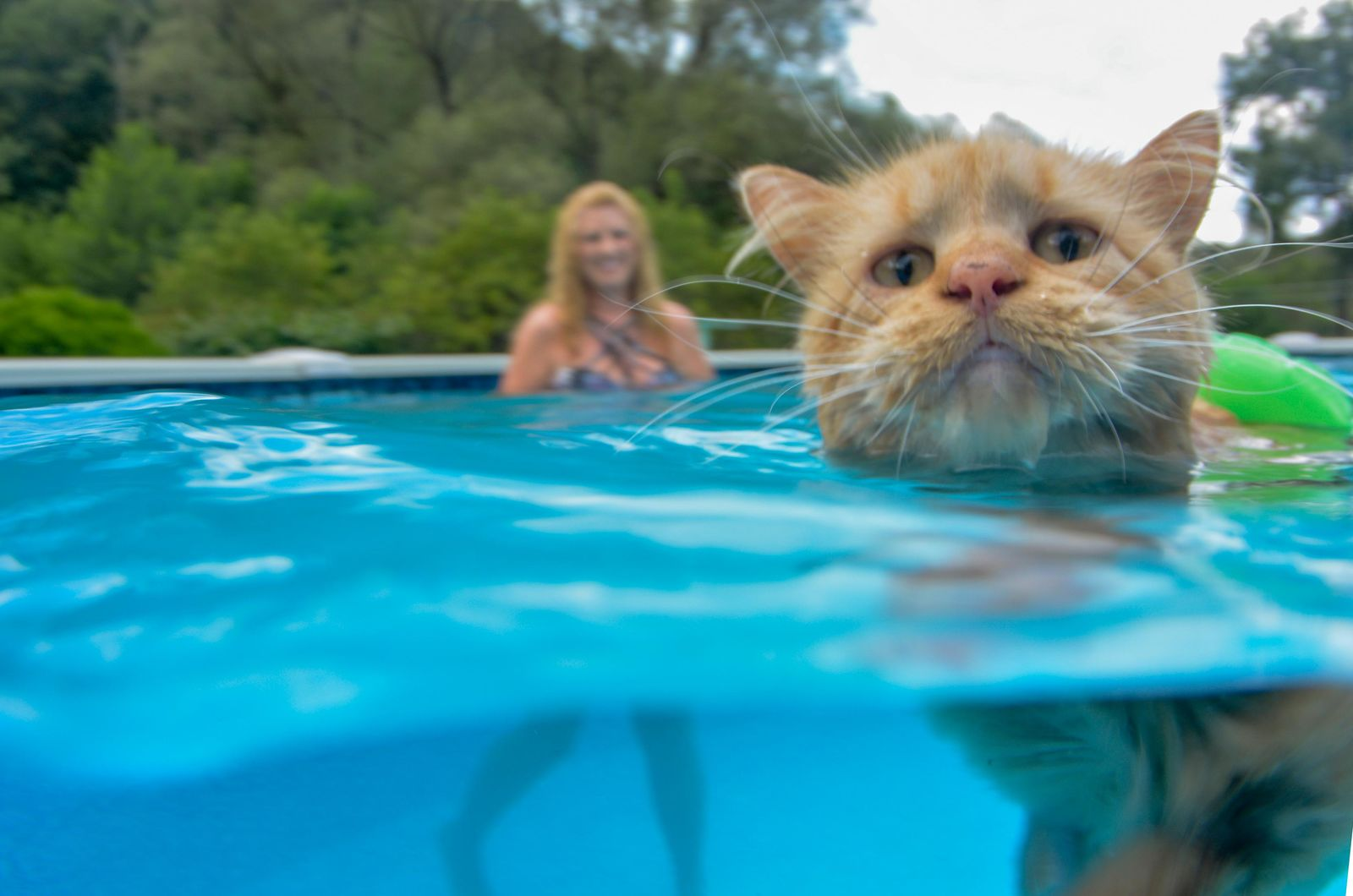 Tissy, a Maine Coon cat that was rescued by the Dawn family of East Brady, Pa., enjoys cooling off in the pool. Thursday. August 1, 2019.  (Louis B. Ruediger/Pittsburgh Tribune-Review via AP)