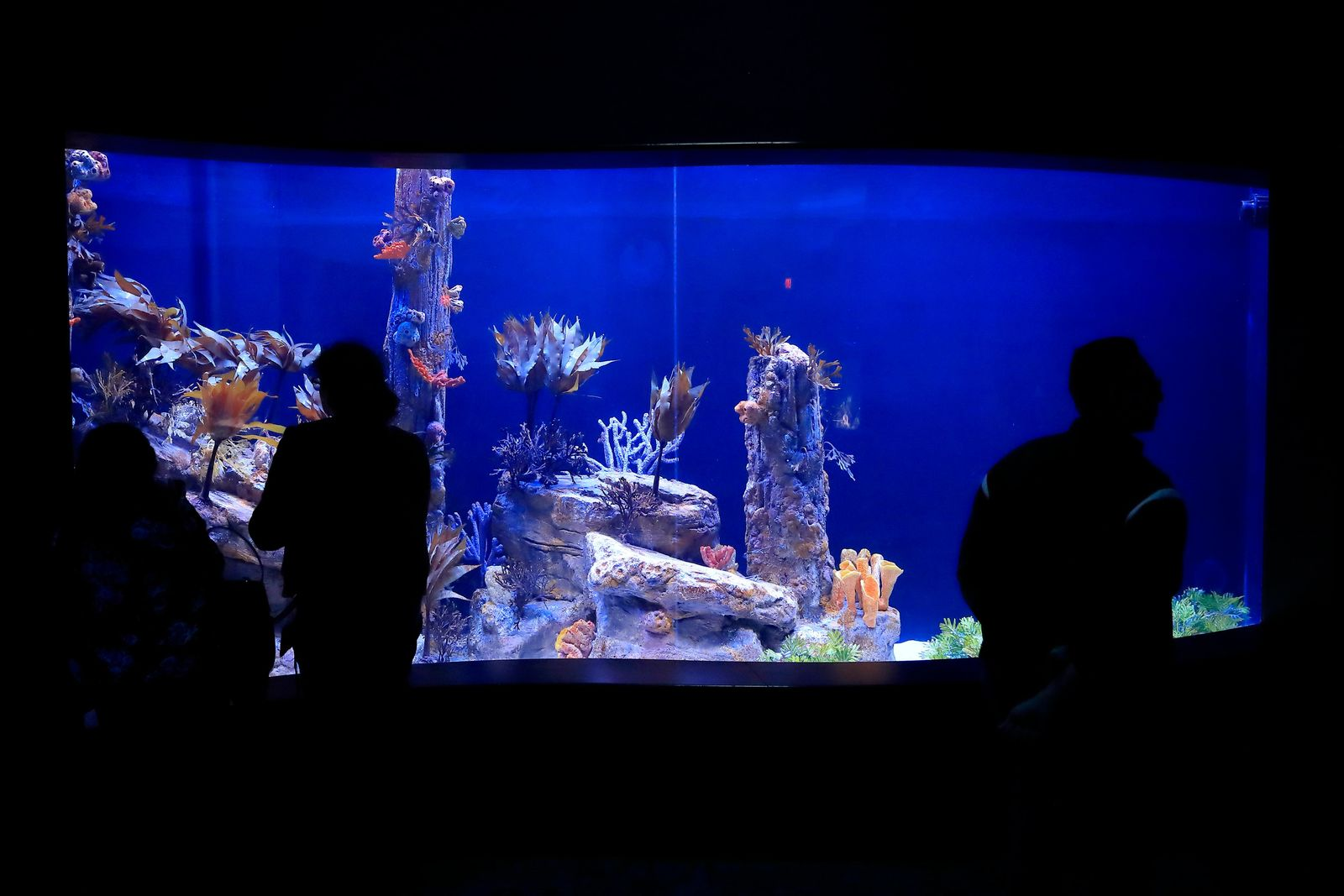In this Friday, May 17, 2019 photo, visitors look at a tank holding sea dragons at the Birch Aquarium at the Scripps Institution of Oceanography at the University of California San Diego in San Diego.(AP Photo/Gregory Bull)