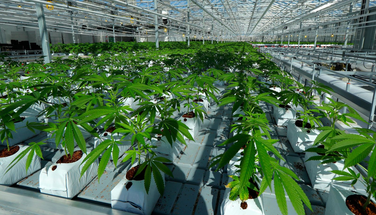 FILE - In this Sept. 25, 2018 file photo, marijuana plants grow in a tomato greenhouse being renovated to grow pot in Delta, British Columbia. The legal marijuana industry exploded in 2018, pushing its way further into the cultural and financial mainstream in the U.S. and beyond. (AP Photo/Ted S. Warren, File)