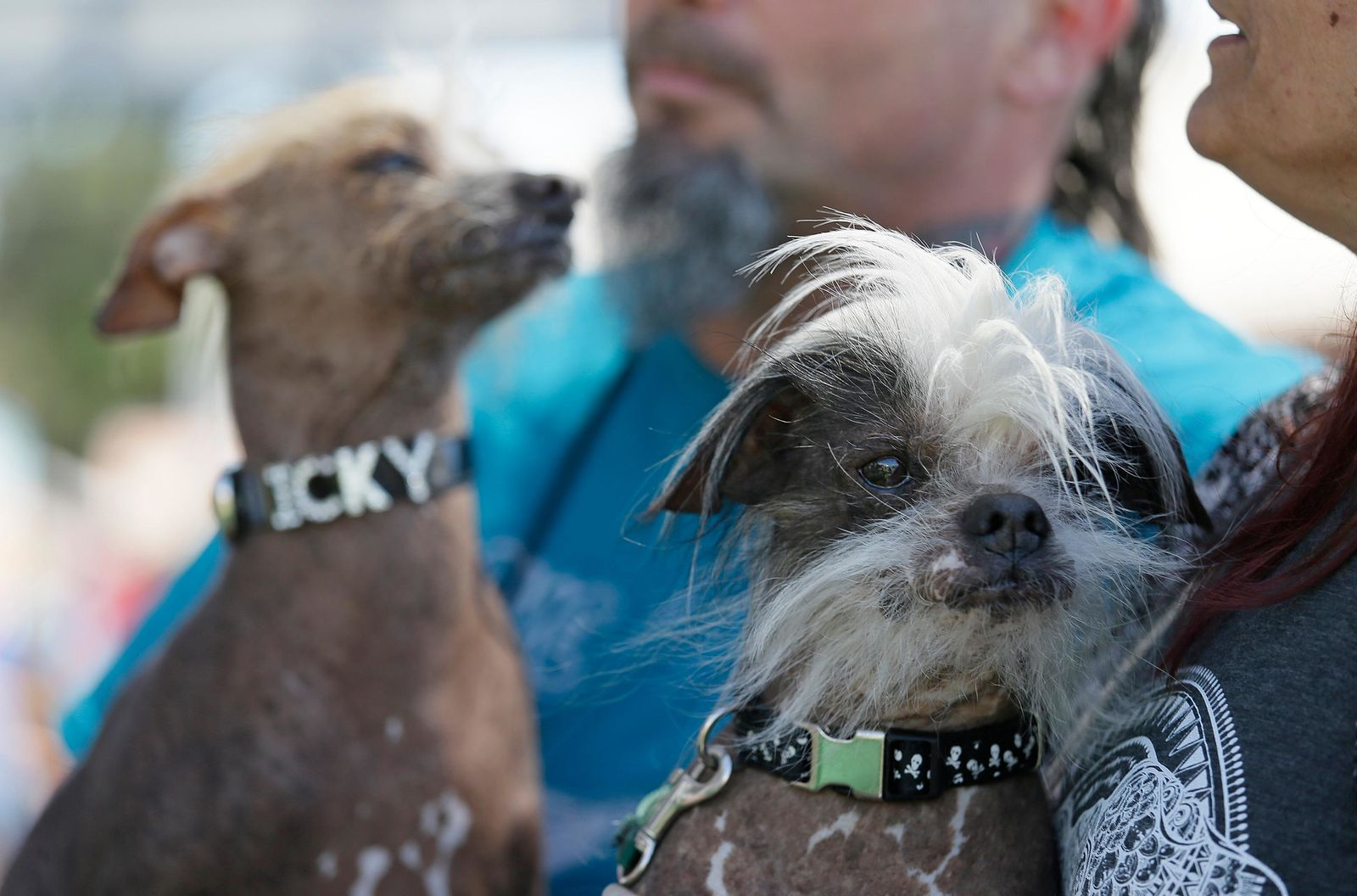 Icky, left, an unknown hairless, and Zoomer, right, a Chinese crested, both from Davis, Calif., wait to compete in the World's Ugliest Dog Contest at the Sonoma-Marin Fair Friday, June 23, 2017, in Petaluma, Calif. (AP Photo/Eric Risberg)