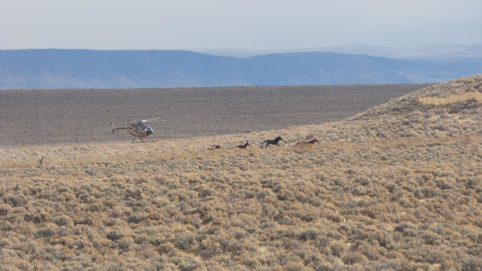 In early November of 2015, the BLM aimed to gather wild horses from the Beaty Butte Management Area. The remote southern Oregon location is 65 miles east of Lakeview and adjacent to the Hart Mountain National Wildlife Refuge.  Photos: Larisa Bogardus, BLM