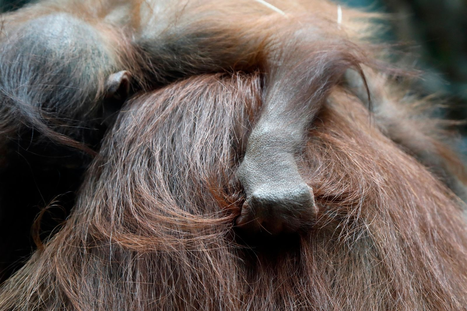 Java, a 7-months-old orangutan, sleeps on the back of his mother, Theodora, at the Jardin des Plantes zoo, in Paris, Sunday, June 16, 2019. (AP Photo/Thibault Camus)