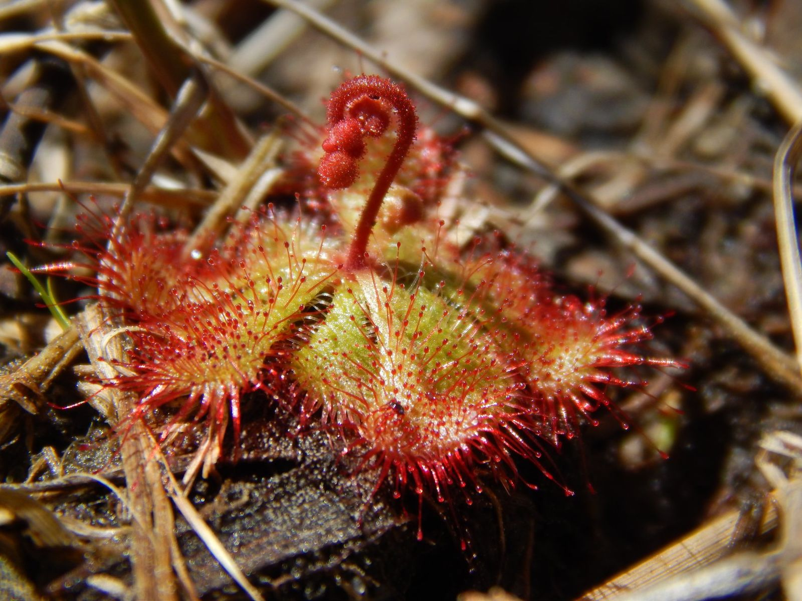 Dwarf sundew (Courtesy of Maryland Department of Natural Resources)