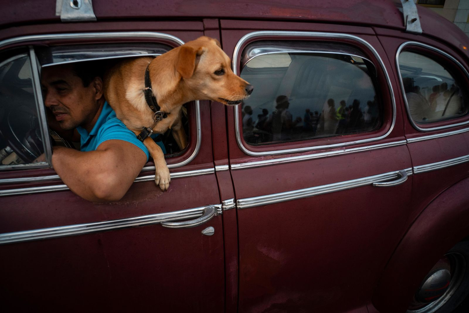 "In this Nov. 10, 2019 photo, a dog named ""Brujita,"" or Little Witch, looks out the window of a classic American classic car in Havana, Cuba. The city will celebrate its 500th anniversary on Nov. 16. (AP Photo/Ramon Espinosa)"