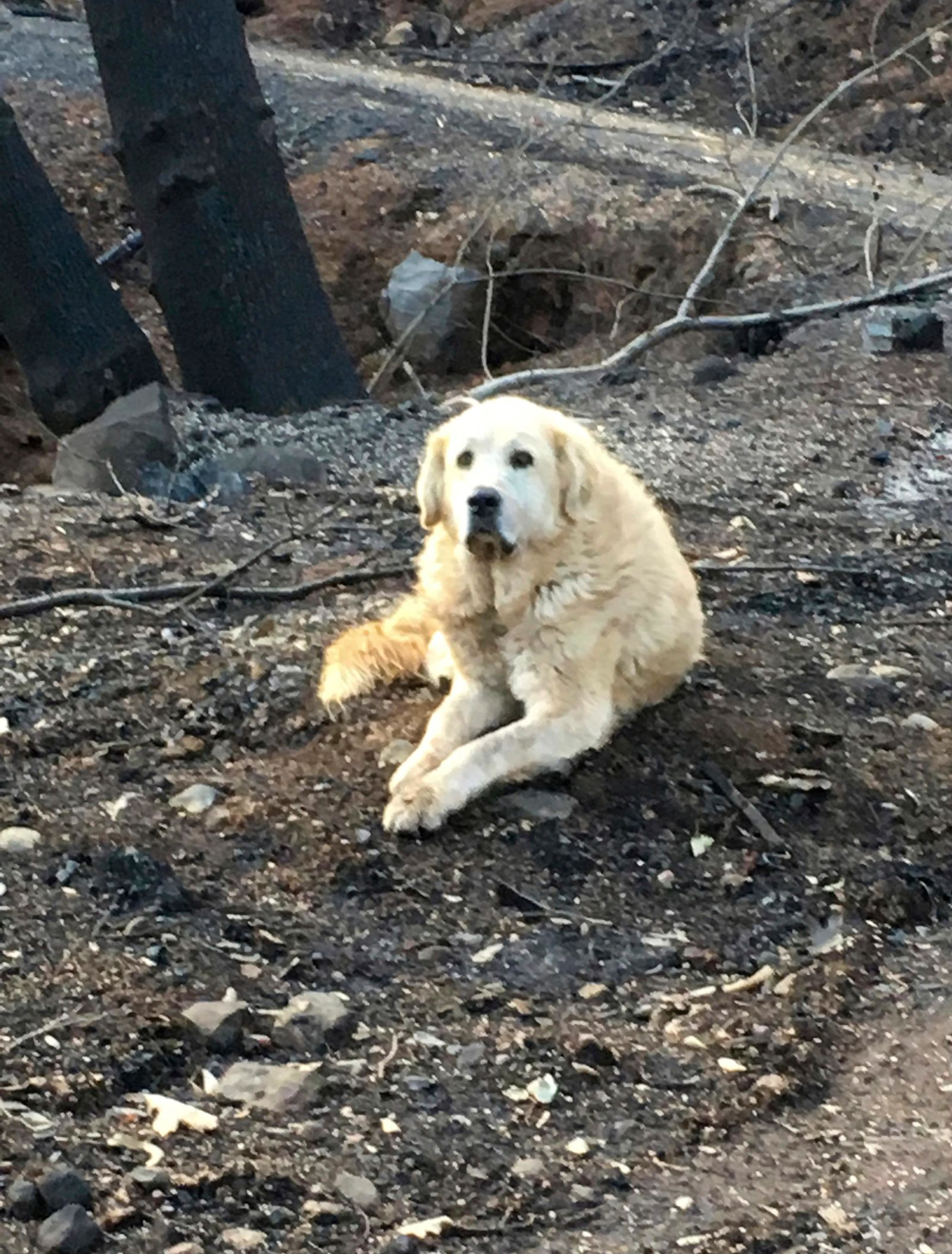 "This Friday Dec. 7, 2018 photo provided Shayla Sullivan shows ""Madison,"" the Anatolian shepherd dog that apparently guarded his burned home for nearly a month until his owner returned in Paradise, Calif. (Shayla Sullivan via AP)"