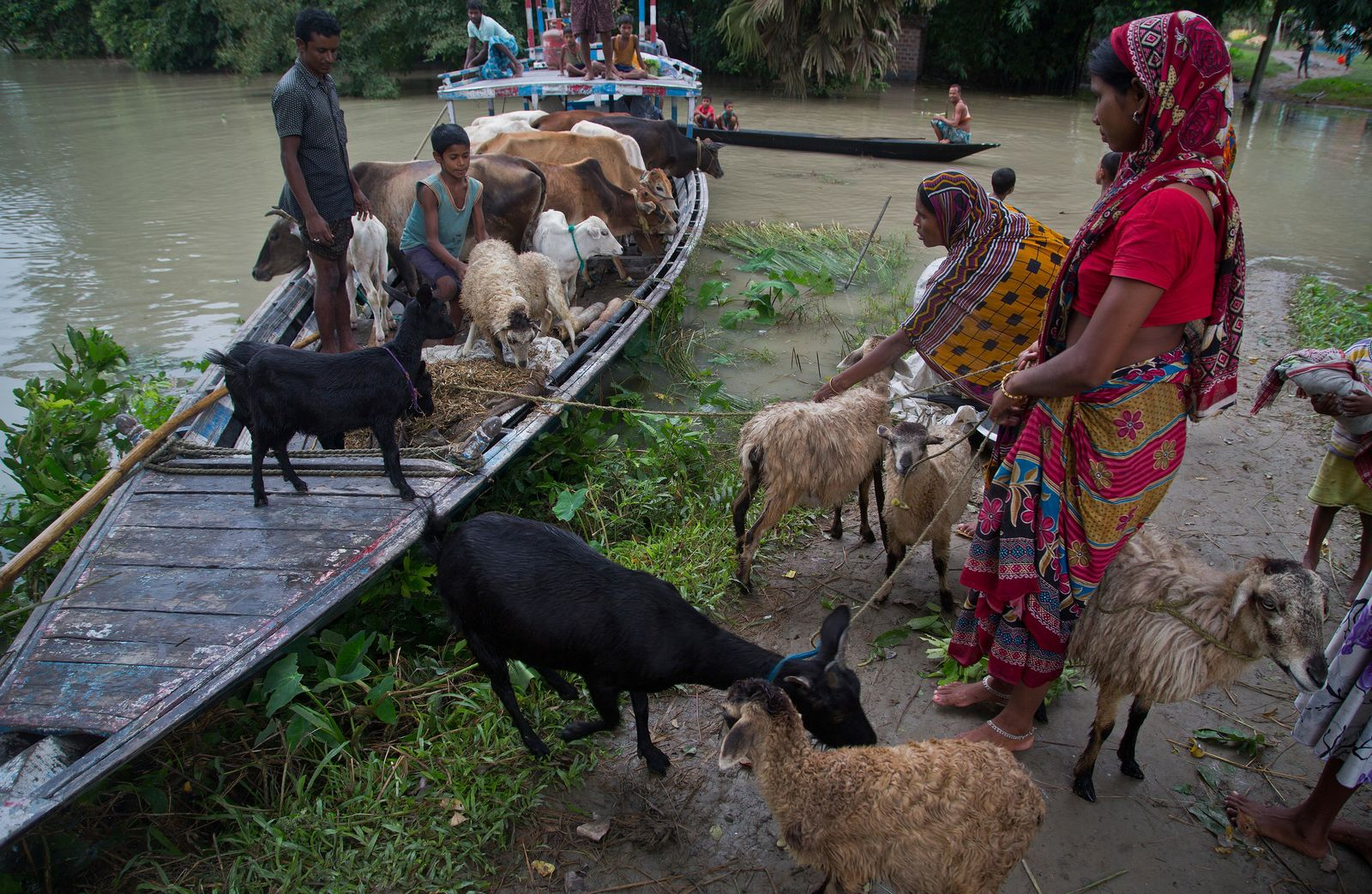 Flood affected villagers transport their cattle to a highland in Katahguri village along the river Brahmaputra, east of Gauhati, India, Sunday, July 14, 2019. Officials in northeastern India said more than a dozen people were killed and over a million affected by flooding. Rain-triggered floods, mudslides and lightning have left a trail of destruction in other parts of South Asia. (AP Photo/Anupam Nath)