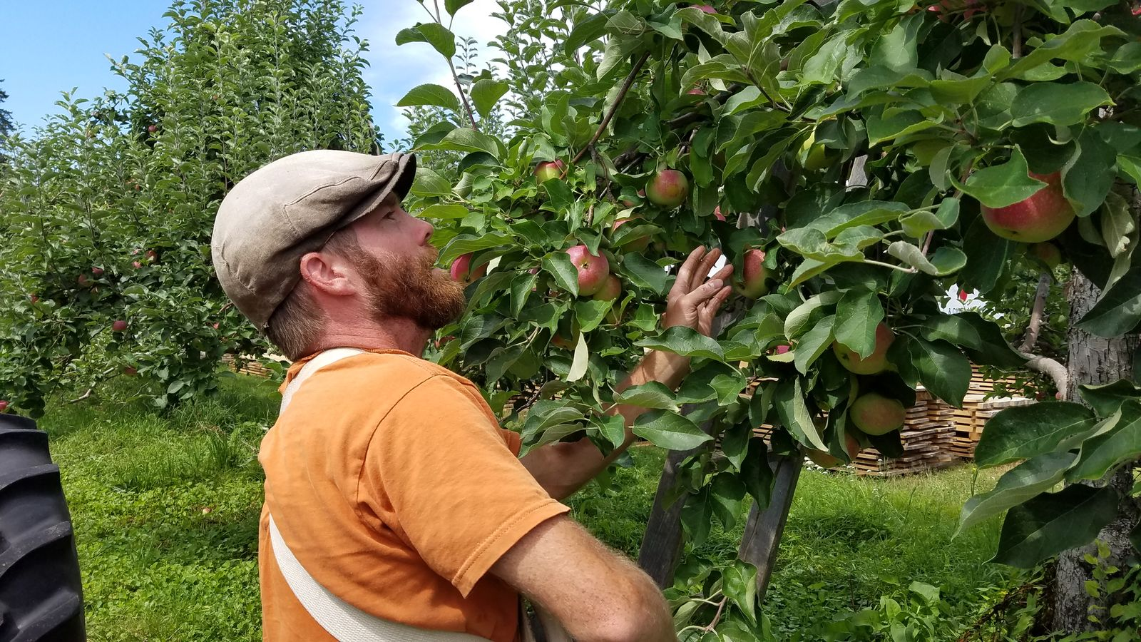A worker picking apples at Randall Orchards. (WGME)