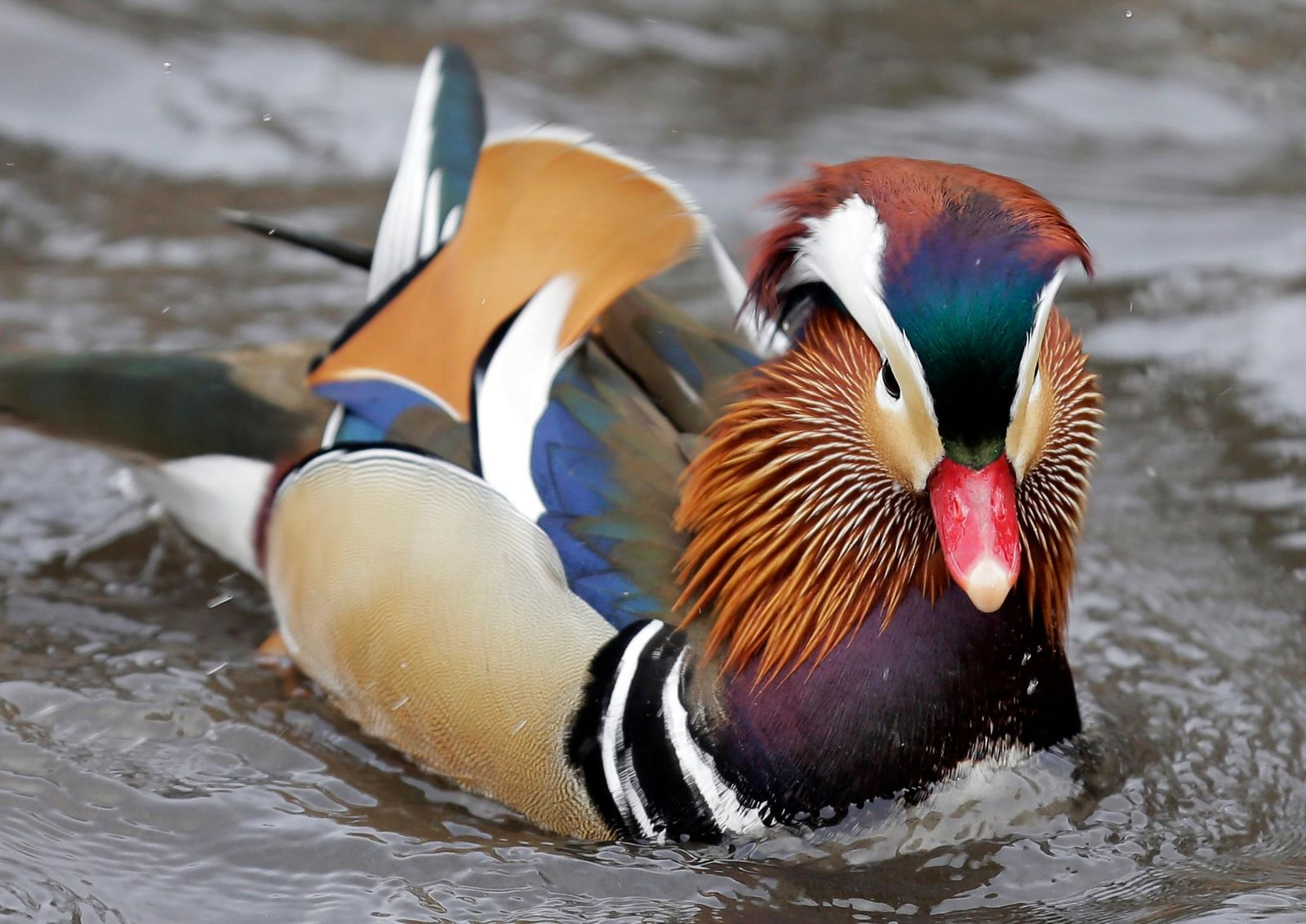 A Mandarin duck swims in Central Park in New York, Wednesday, Dec. 5, 2018. In the weeks since it appeared in Central Park, the duck has become a celebrity. (AP Photo/Seth Wenig)