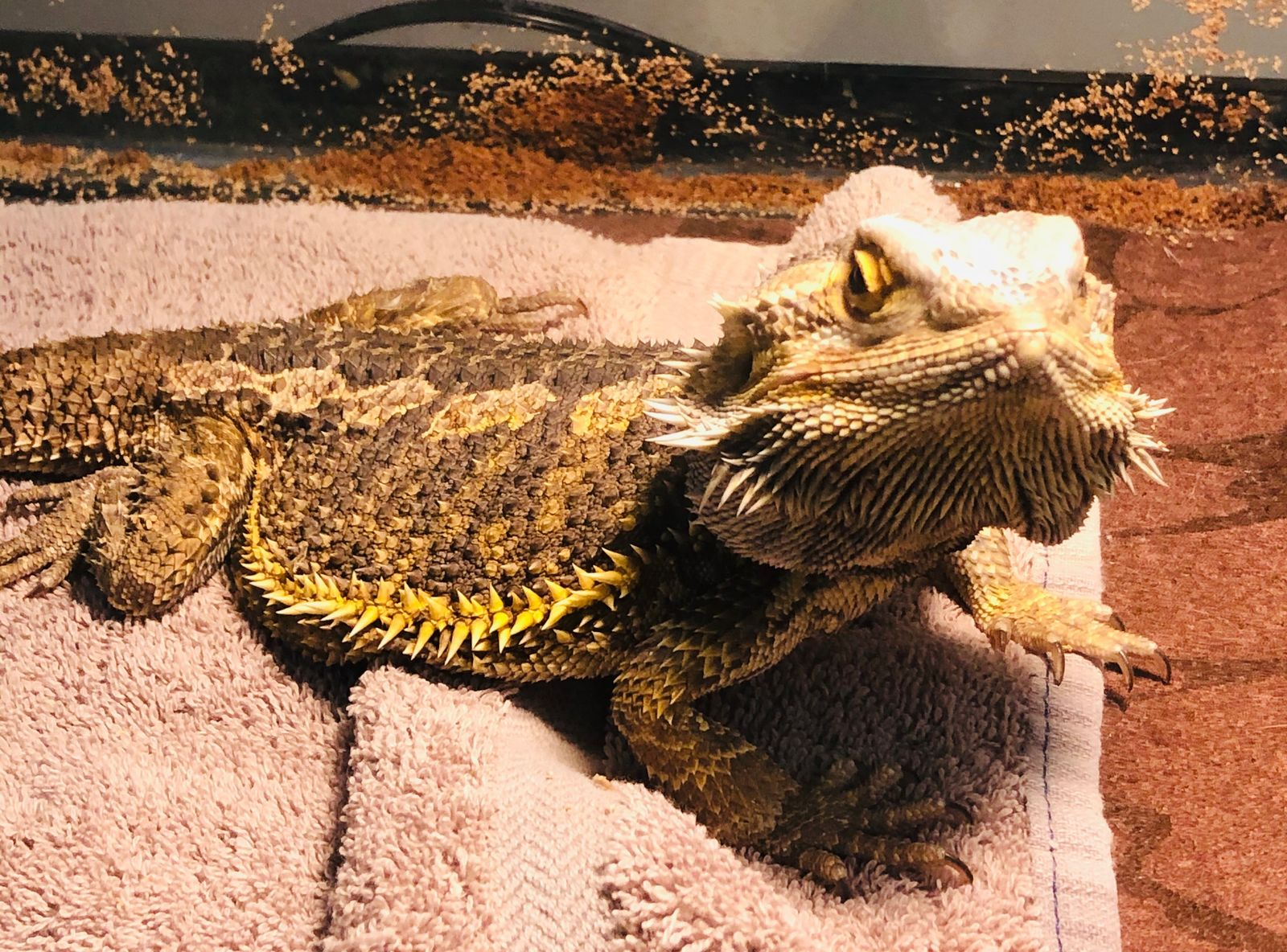A bearded dragon ad boa constrictor were abandoned Wednesday morning, Aug. 5, 2020, at the Humane Society of Greater Dayton. (HSGD photo)