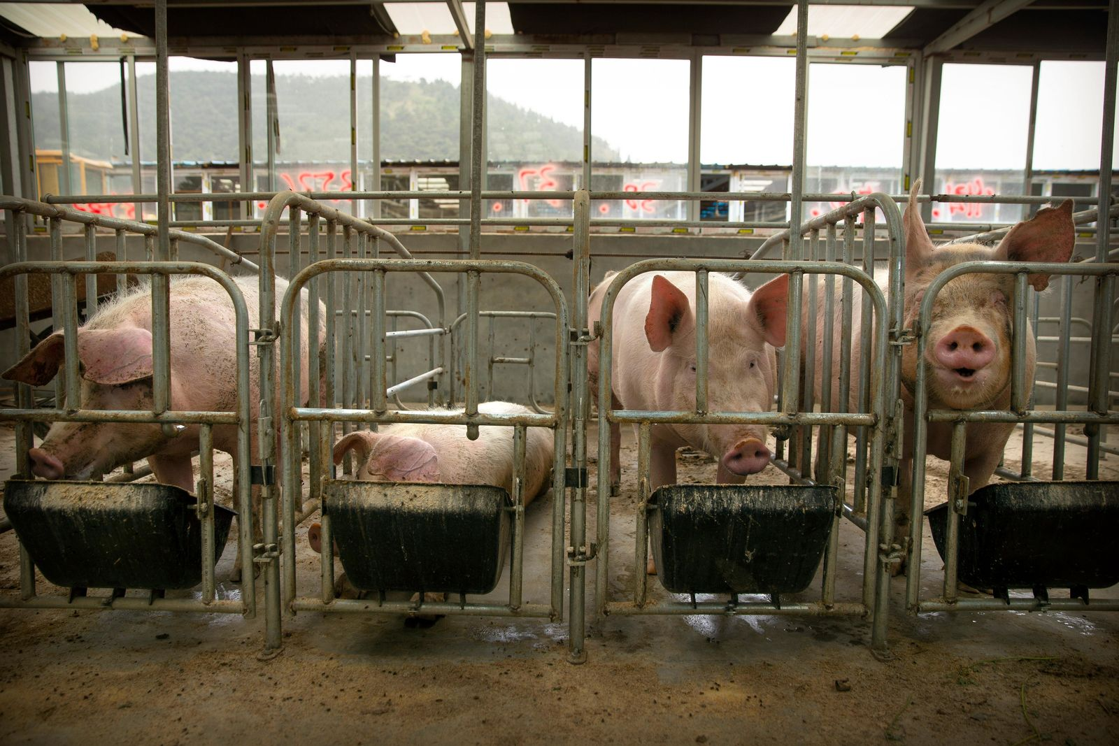 In this May 8, 2019, photo, pigs eat feed at a pig farm in Panggezhuang village in northern China's Hebei province. (AP Photo/Mark Schiefelbein)