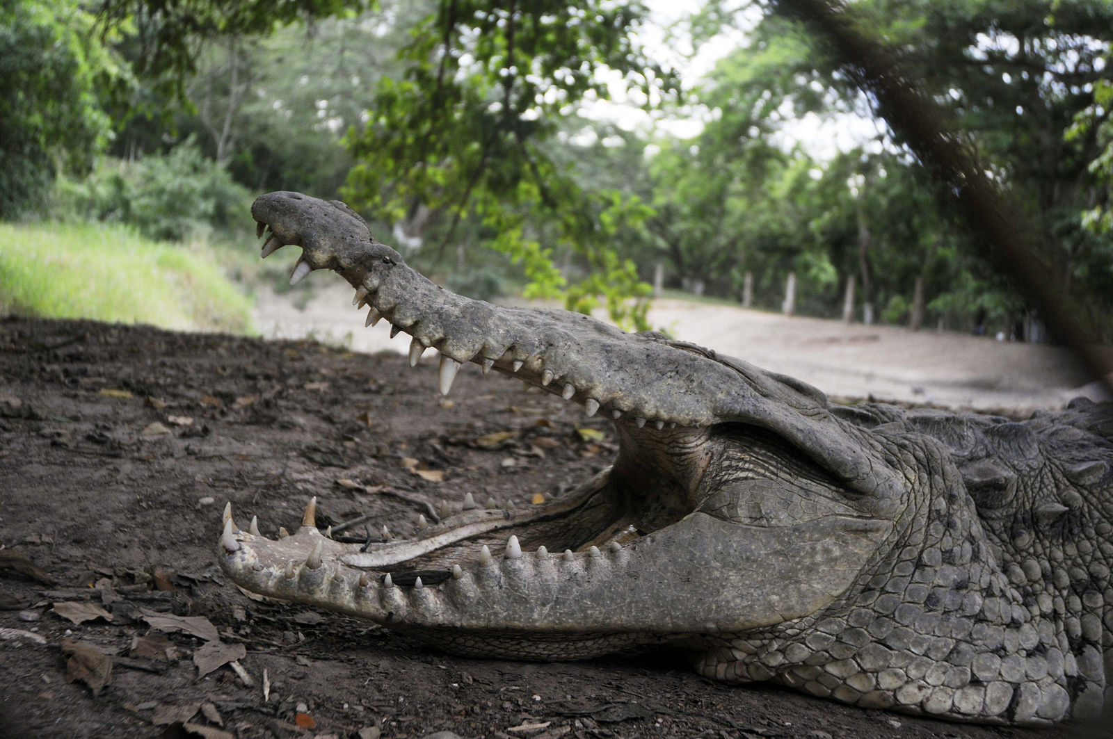 FILE - A crocodile opens its mouth as it lies on a mud bank at a farm in northern Honduras, Wednesday, Nov. 4, 2015. (AP Photo/Fernando Antonio)