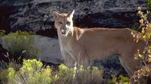 Cougar spotted in the Canyon Cover area in Holladay (Photo: Holladay / Twitter)<p></p>