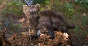 Humbolt marten - U.S. Fish and Wildlife