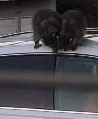 A woman says raccoons entered her car in Manzanita for a box of leftover food. When they found themselves trapped inside, they damaged the car's interior while trying to escape. Photo courtesy of Wendy Bond