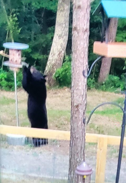The same viewer took this photo of a bear in the same area last week.