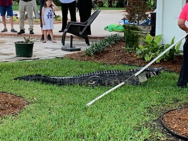 Alligator pulled from pool in Palm Beach Gardens. (Senta Evans)