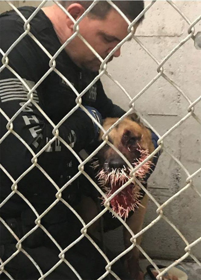 """During a very long active track, Odin encountered a porcupine in the path, and was struck with over 200 quills. Several of the quills went inside Odin's mouth and two near his left eye,"" the sheriff's office said. (Photo: Coos County Sheriff's Office)"