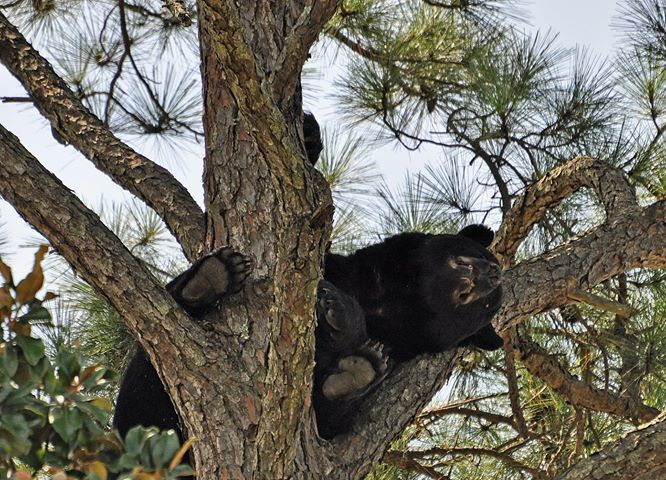 Bear pair scare at Navarre Park (Source:WEAR-TV/  Photo: Stephen Richards)