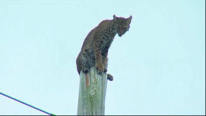 Bobcat climbs utility pole along I-75 in Collier County. (CNN Newsource)
